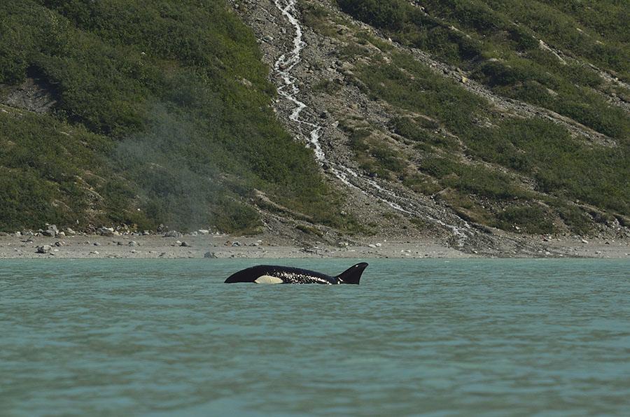 20150705 8351 orcas 8 r