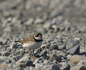 20150705 8466 semipalmated plover 2 r
