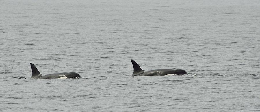 20150720 8981 orcas 3 r