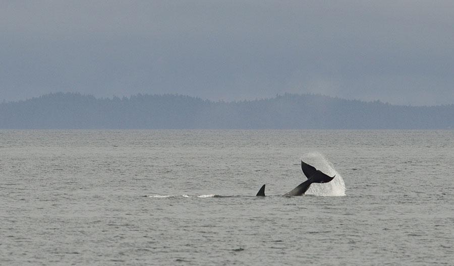 20150720 9050 orca tail slap 3 r