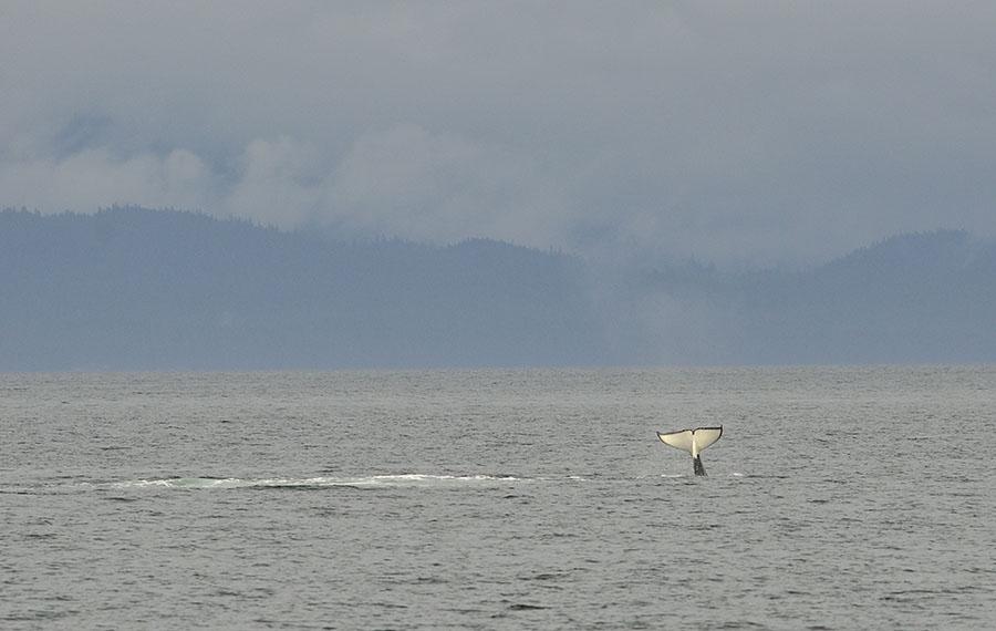 20150720 9086 orca tail slap 7 r