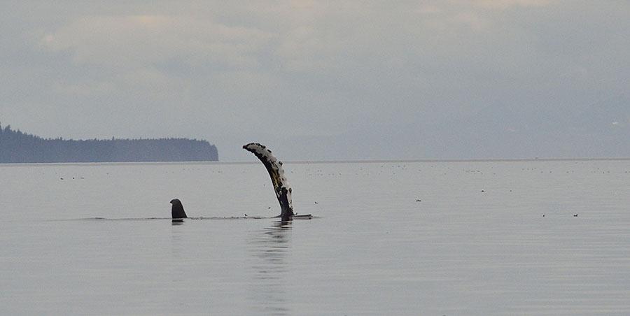 20150725 9396 whale pec slap 2 r