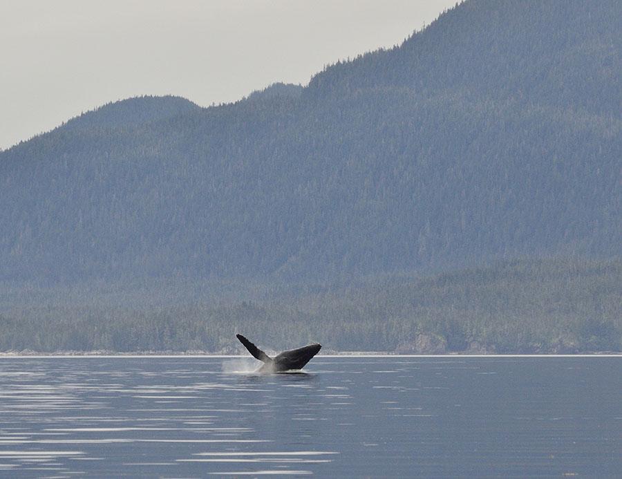20150725 9413 whale breach 1 r