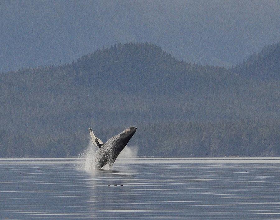 20150725 9417 breaching whale 5 closer r
