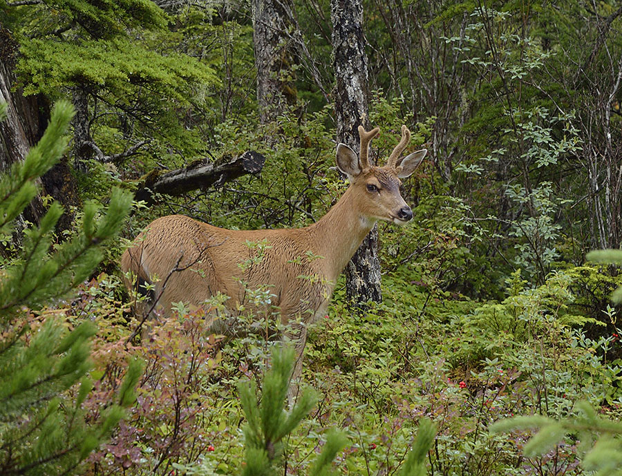20150728 9515 young buck 2 r