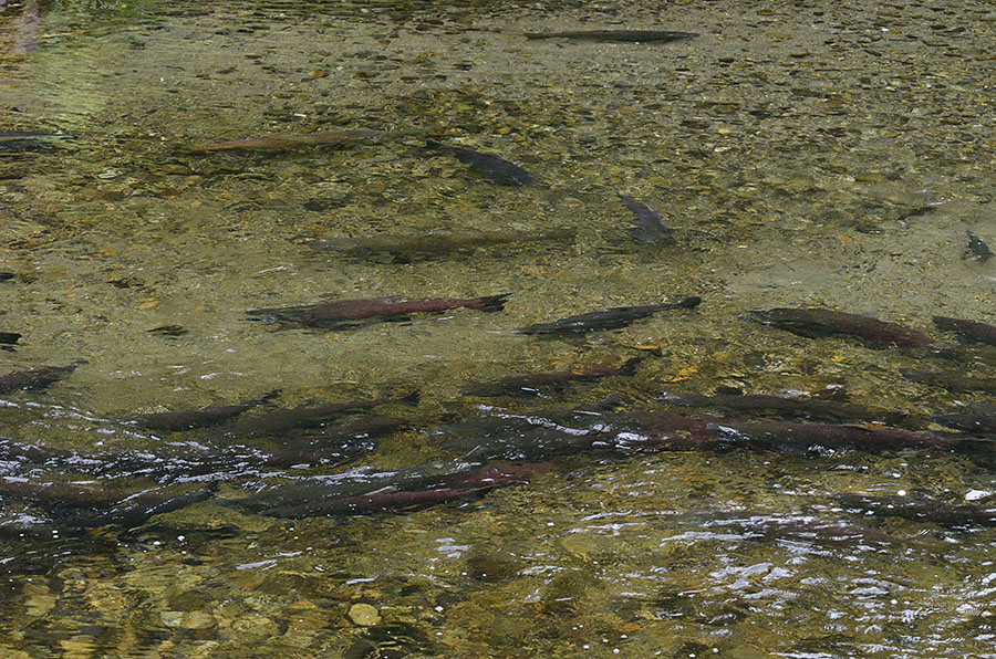 20150806 9611 salmon in creek r