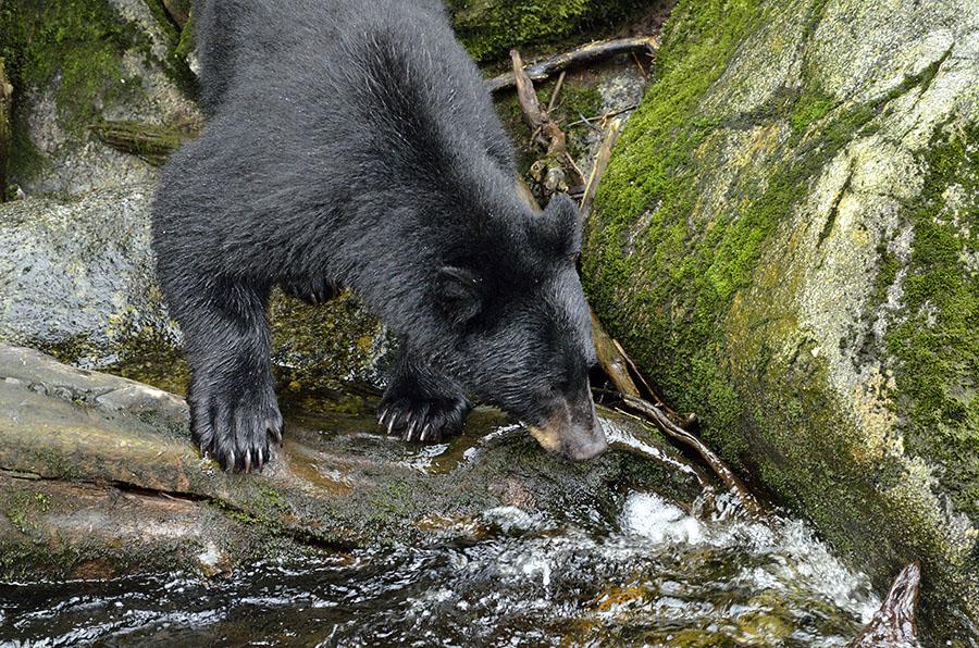 20150812 10109 anan bear waiting for fish r