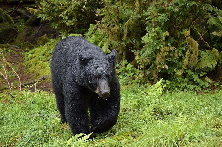 20150812 9869 anan bear 2 r