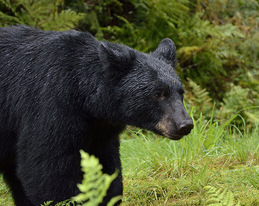 20150812 9873 black bear face 2 r