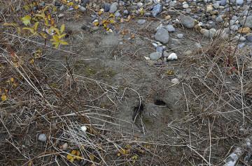 Musk-oxen footprint
