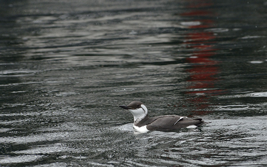 20160307 0234 thick billed murre 4 r