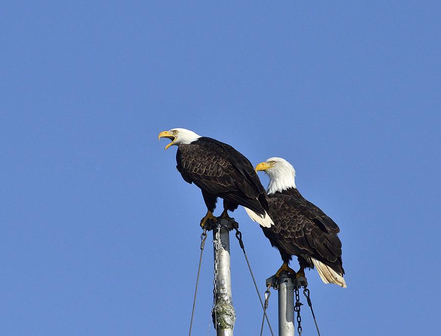 20160330 0408 eagle pair 1 r