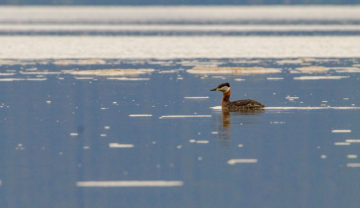 20160504 0451 red necked grebe ideal cove r
