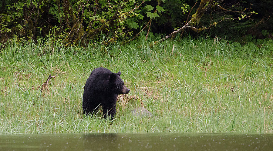 20160507 0495 ideal cove black bear r