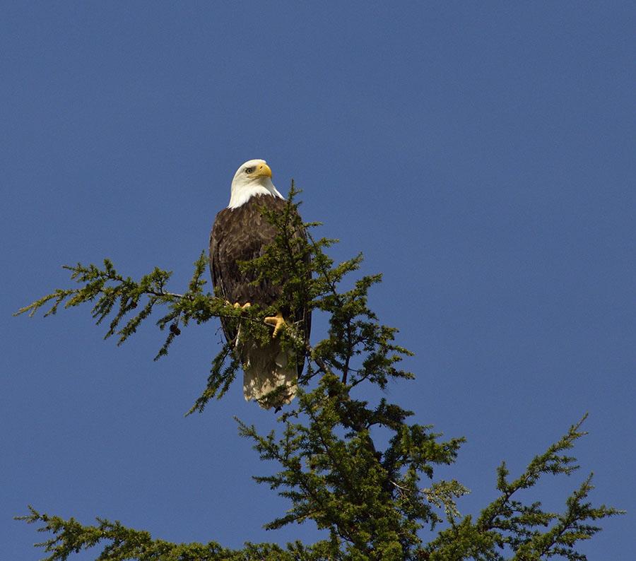 20160512 0711 bald eagle 1 r