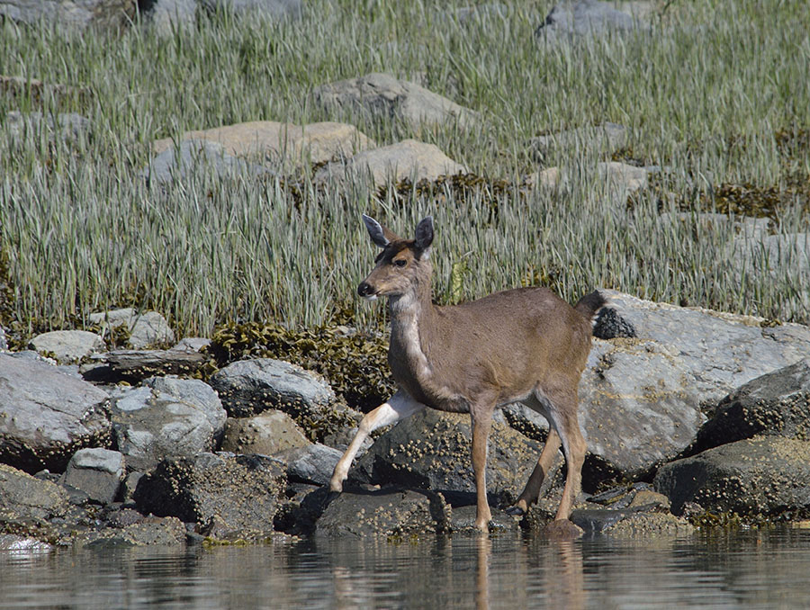 20160512 0726 black tailed deer 2 r