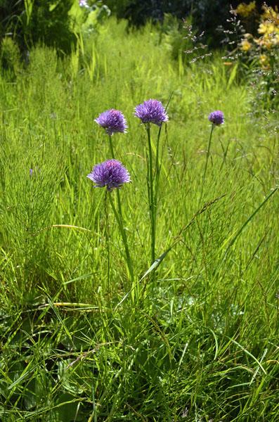 20160614 2216 funter bay purple wildflower r