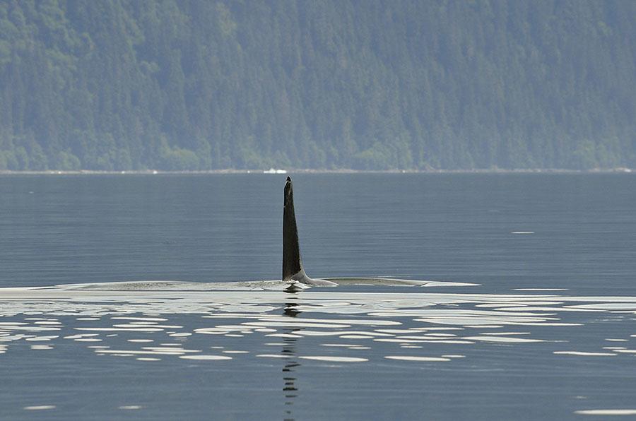 20160708 3143 orca fin r