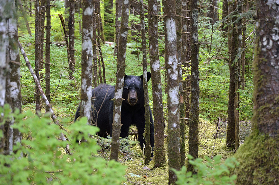 20160716 3393 gbnp forest trail black bear r