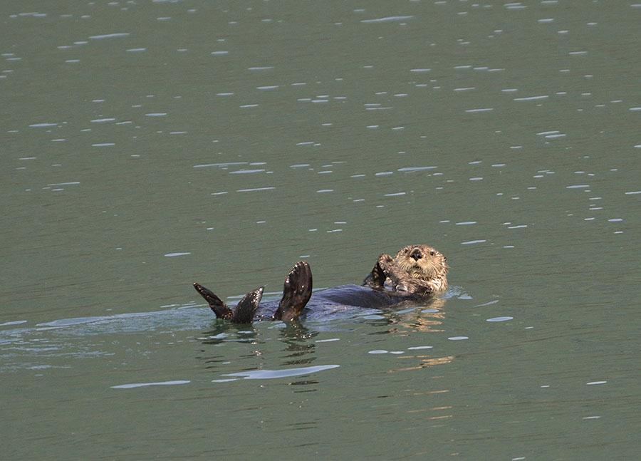 20160717 3599 gbnp sea otter 4 r