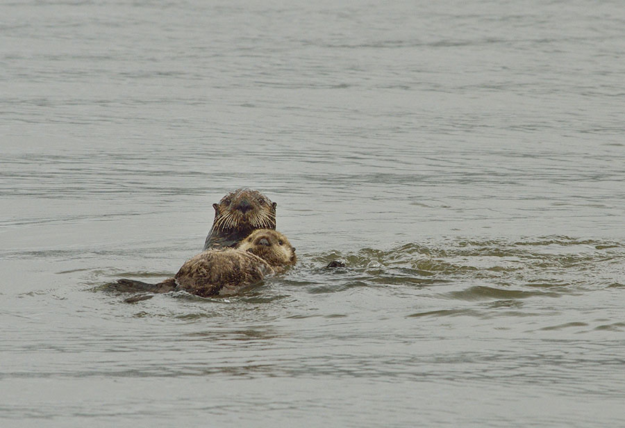 20160727 0052 sea otter and pup r