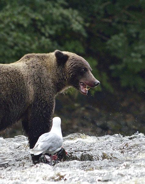 20160815 0700 pavlov bear 26 teeth close r