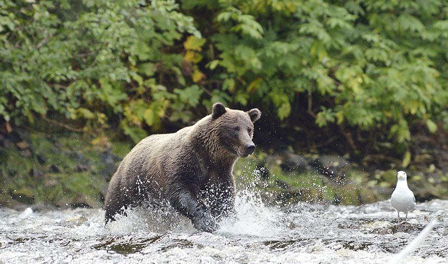 20160815 0735 pavlov bear 41 chase r