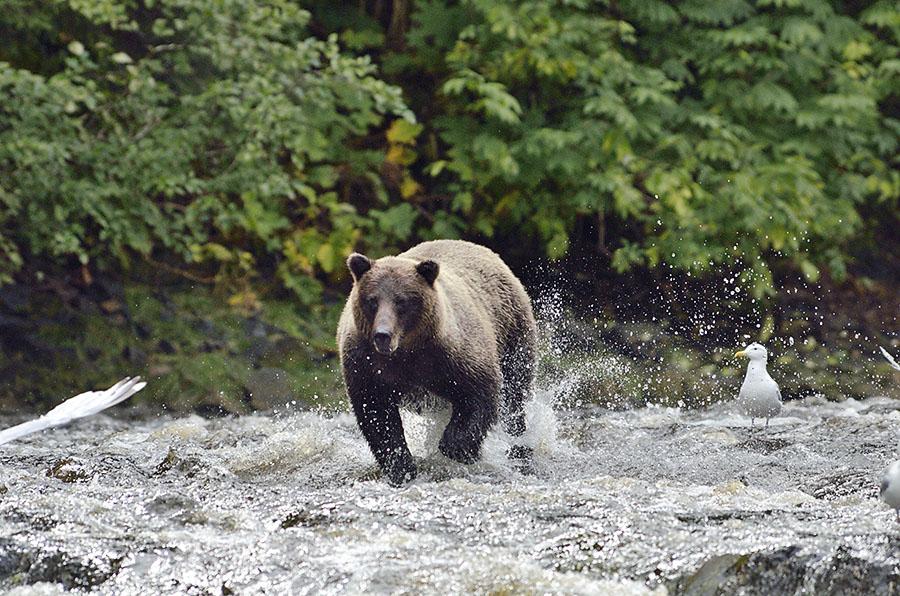 20160815 0737 pavlov bear 39 chase r