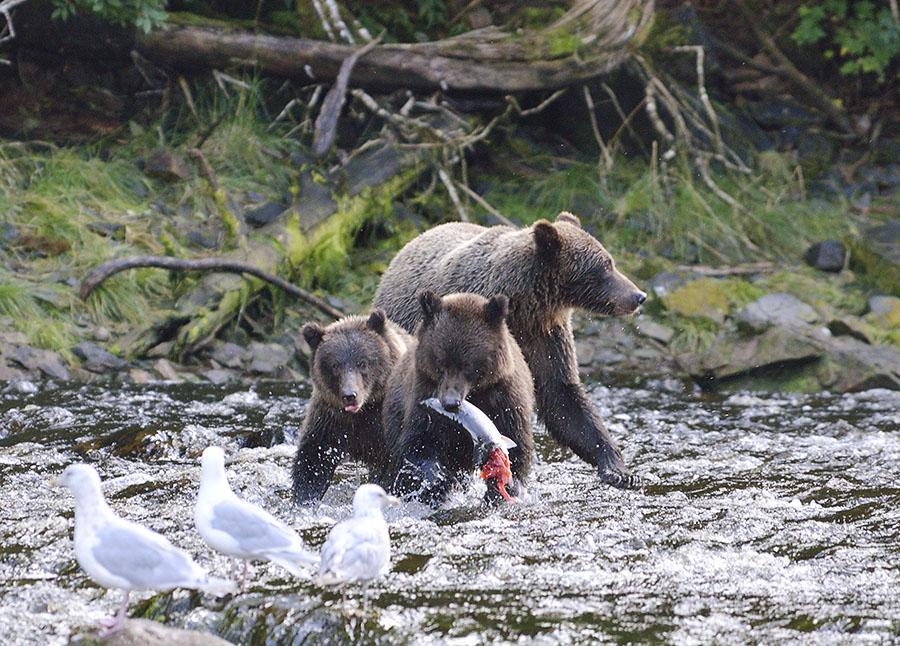 20160816 0979 pavlov sow 1yr cubs fish 3 r