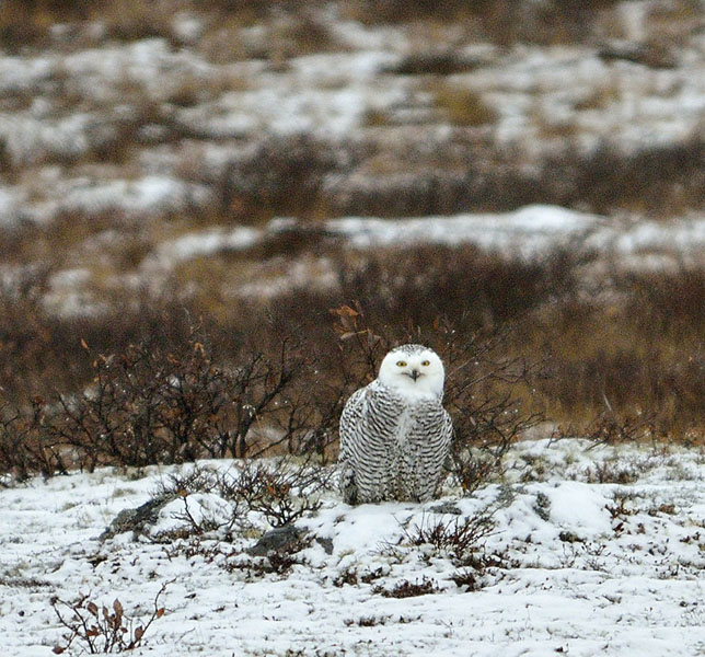 20161021-2528-snowy-owl-open-beak-2-r