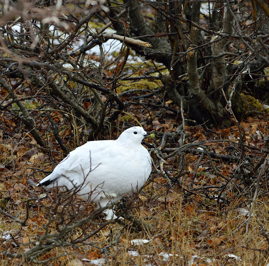 20161022-2688-ptarmigan-in-willow-2-r