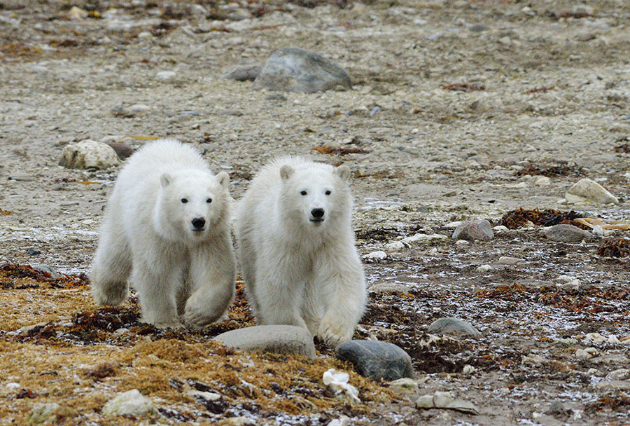 20161023-2825-polar-bear-cubs-running-r