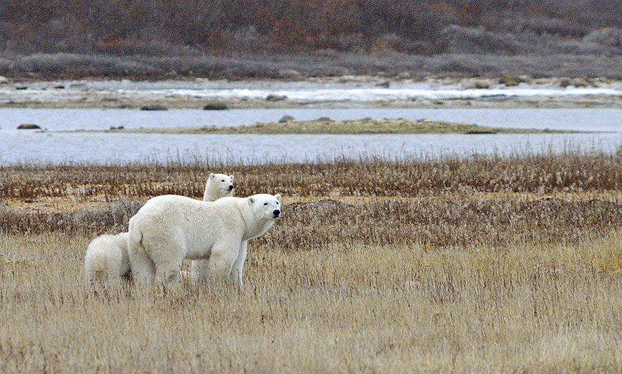 20161023-2860-polar-bear-cub-prairie-dogging-2-r