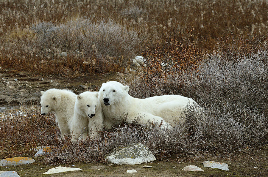 20161023-3146-three-sleepy-polar-bears-r