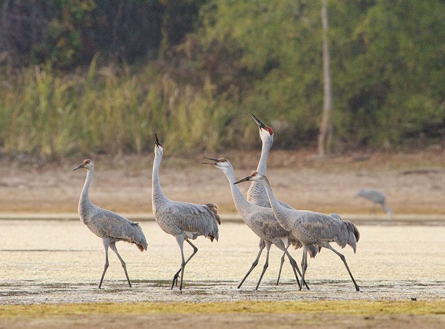 20161112-3600-sandhill-cranes-2-r