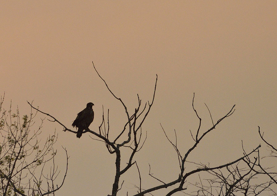 20161112-3753-sunset-hawk-silhouette-r