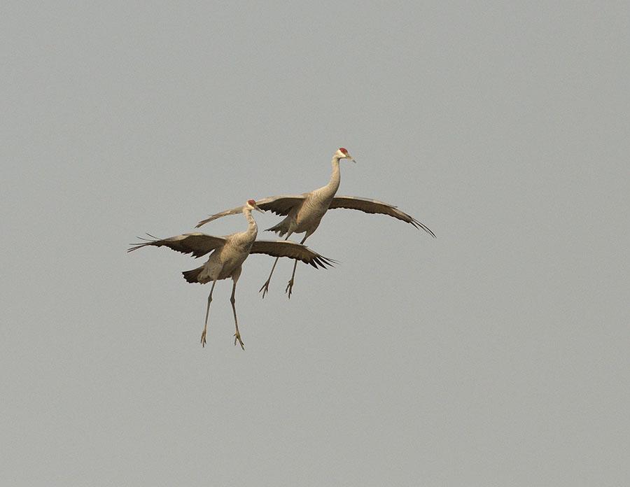 20161112-3819-pair-of-sandhill-cranes-landing-r