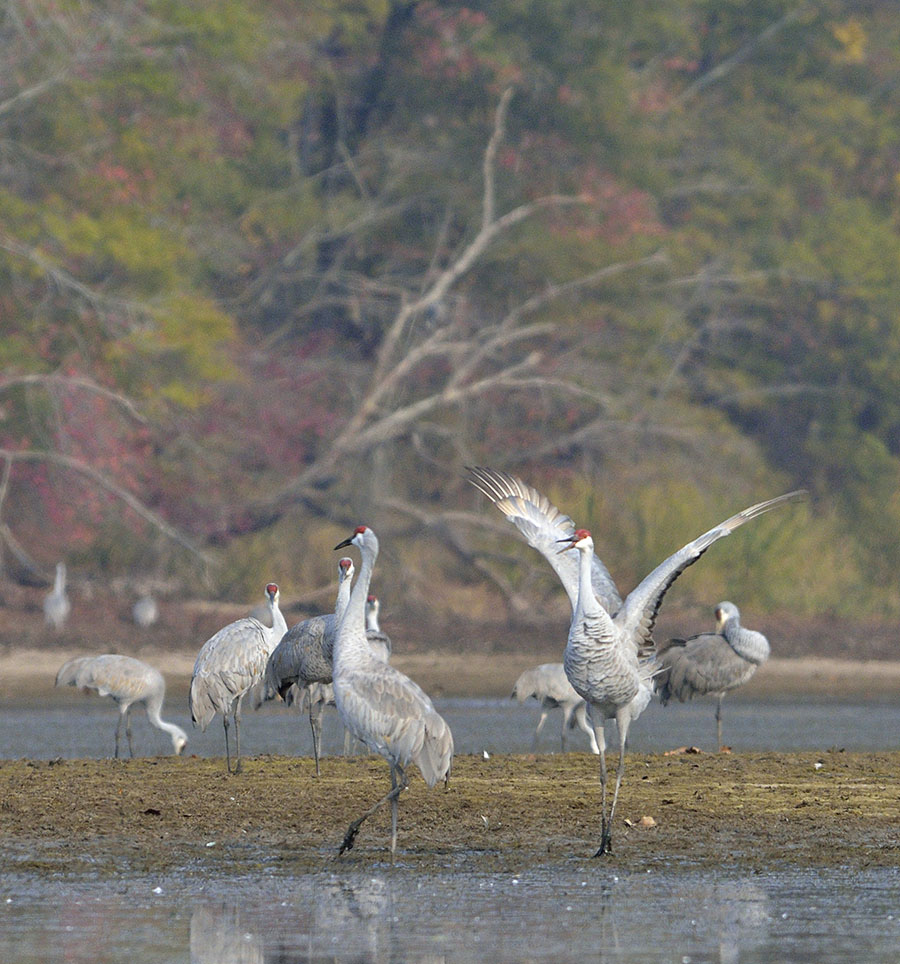 20161112-3927-sandhill-crane-wings-up-dance-2-r