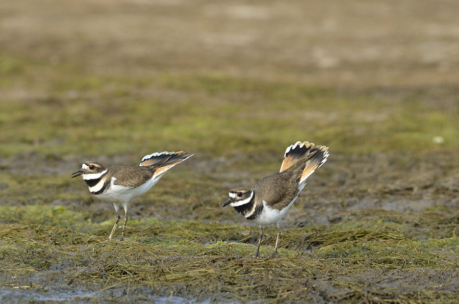 20161112-4027-pair-of-killdeer-2-r