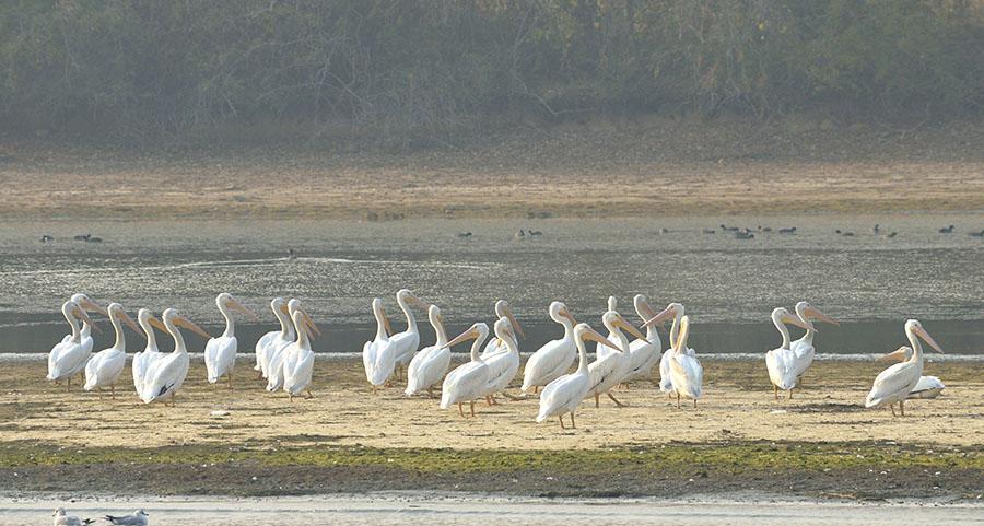 20161113-4195-white-pelicans-2-r