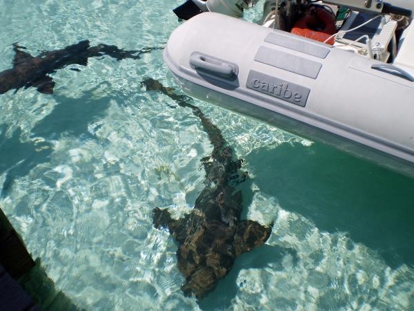 2010 05 18 compass cay shark RESIZE