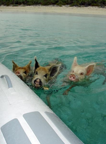 2010 06 02 swimming piggies RESIZE