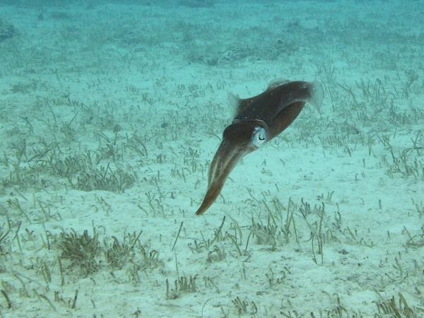2012-04-27 reef squid RESIZE