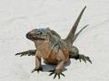 2010 04 29 allens iguana 3 RESIZE