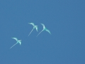 2010 05 03 three tropicbirds RESIZE