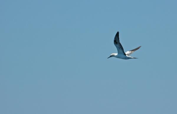 2011 07 20 gannet RESIZE