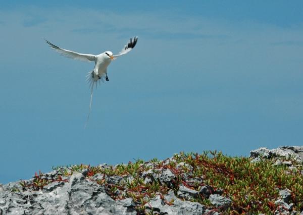 2012-05-21 tropic bird landing RESIZE