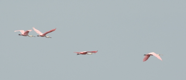 2012-07-01 flying spoonbills RESIZE