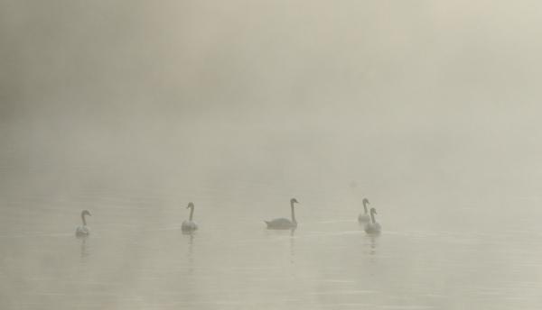 2012-09-14_582 swans in fog RESIZE