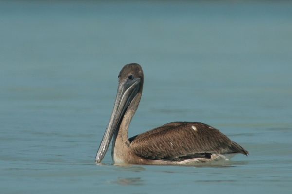 pelican cropped RESIZE